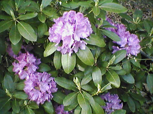 Rhododendron May 2001